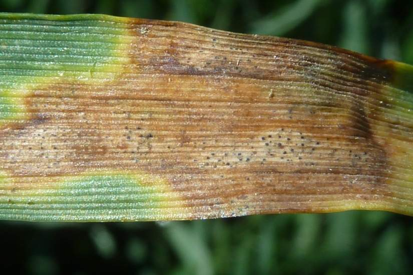 Septoria Tritici - Wheat
